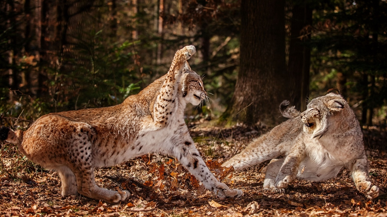 Preview wallpaper aggression, fighting, forest, leaves, leopards