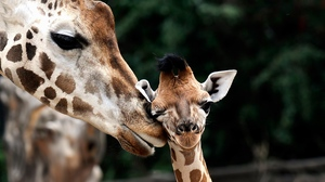 Preview wallpaper baby, giraffe, muzzle, spotted