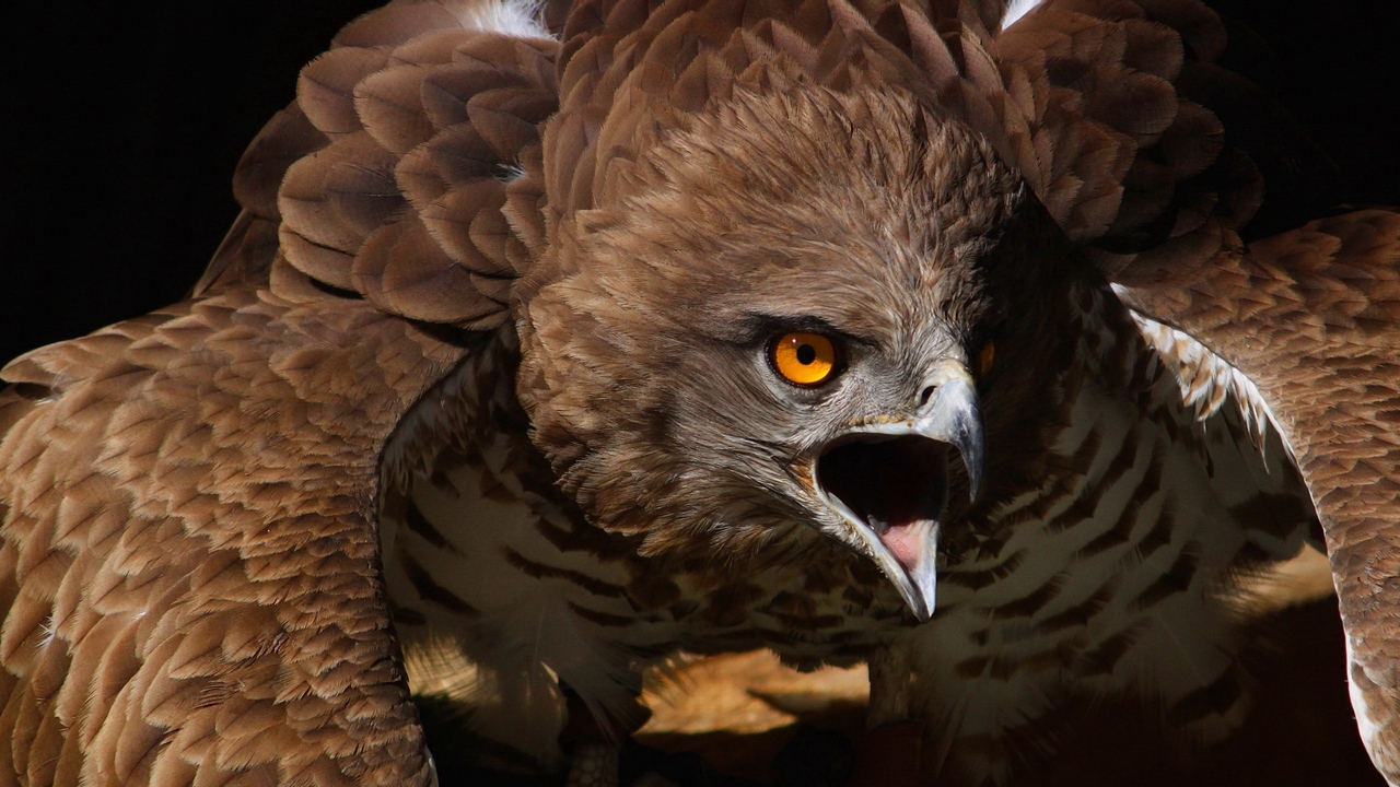 Preview wallpaper aggression, bird, eagle, feathers, flap, predator, screaming