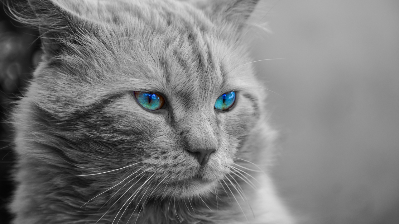 Preview wallpaper blue-eyed, bw, cat, fluffy, muzzle, photoshop