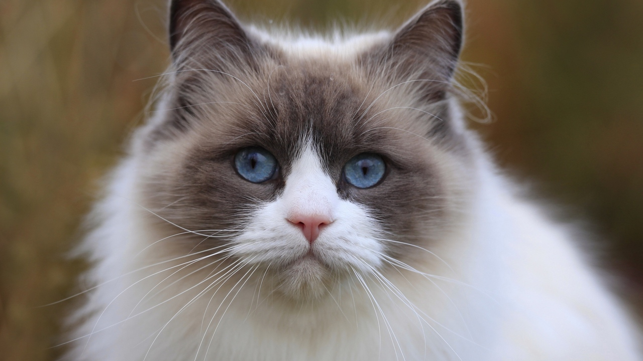 Preview wallpaper beautiful, blue eyes, cat, eyes, face, thick