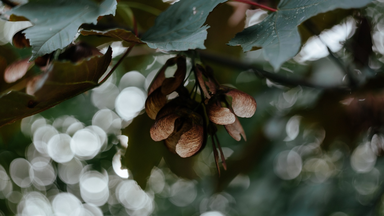Preview wallpaper blur, bokeh, branches, leaves, maple, seeds