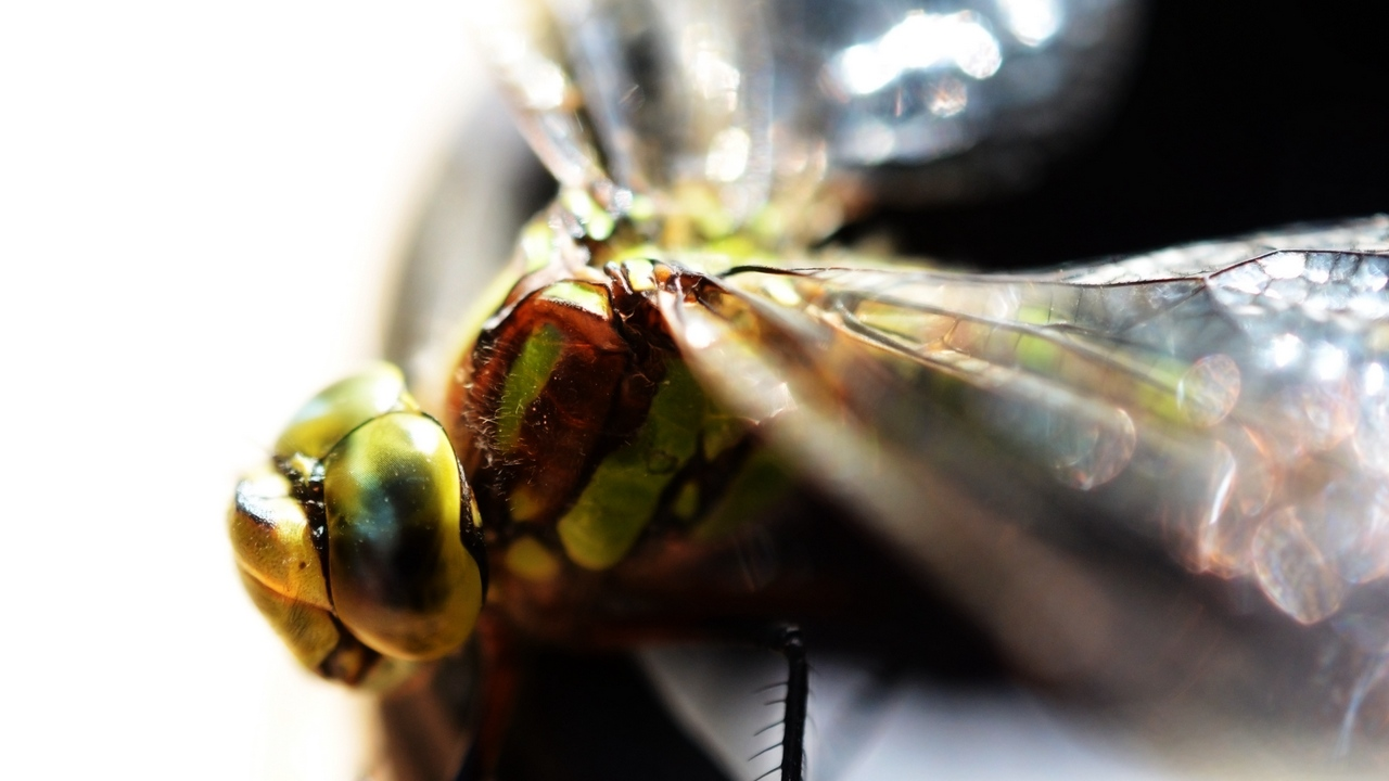 bright eyes insect