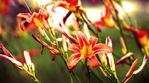 Preview wallpaper bright, flowers, lilies, red