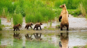 Preview wallpaper babies, bears, care, family, grass, hunting, lake