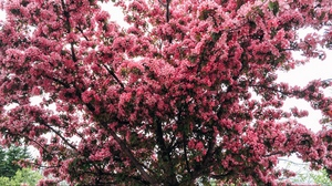 Preview wallpaper cherry, flowering, spring, tree