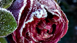 Preview wallpaper bud, close-up, frost, rose, snow