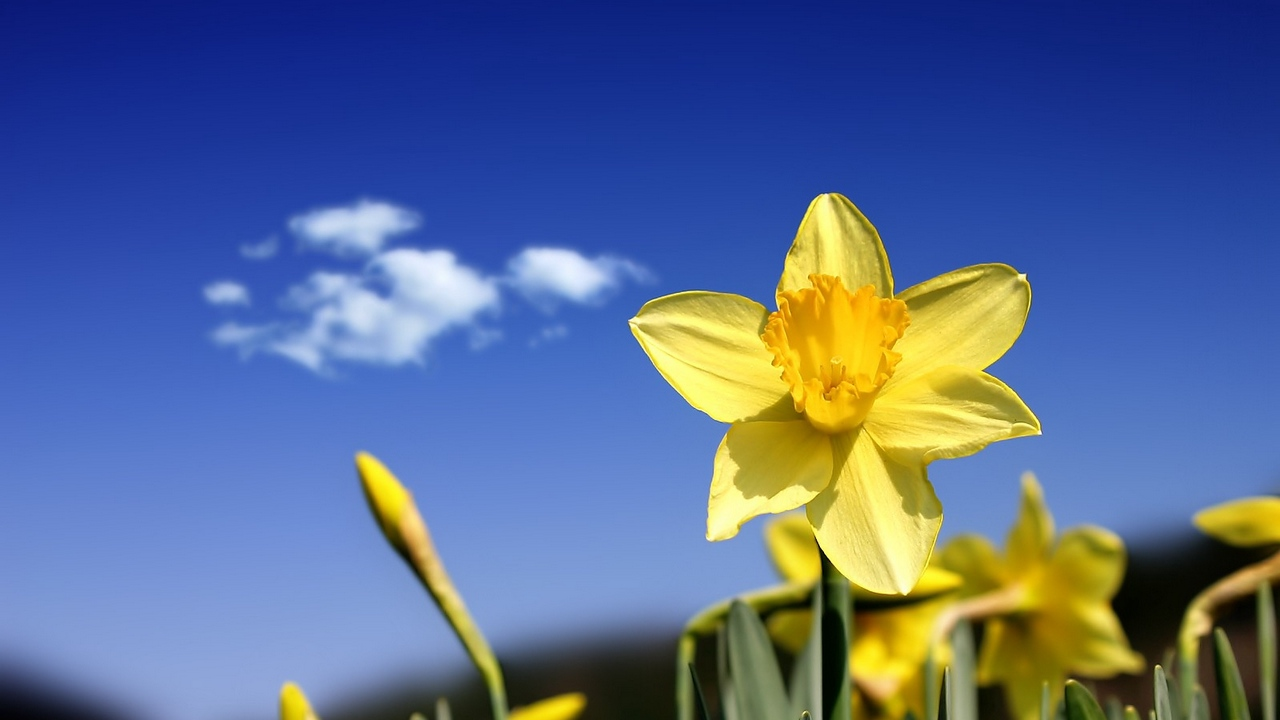 Preview wallpaper buds, cloud, daffodils, flowers, sky, spring