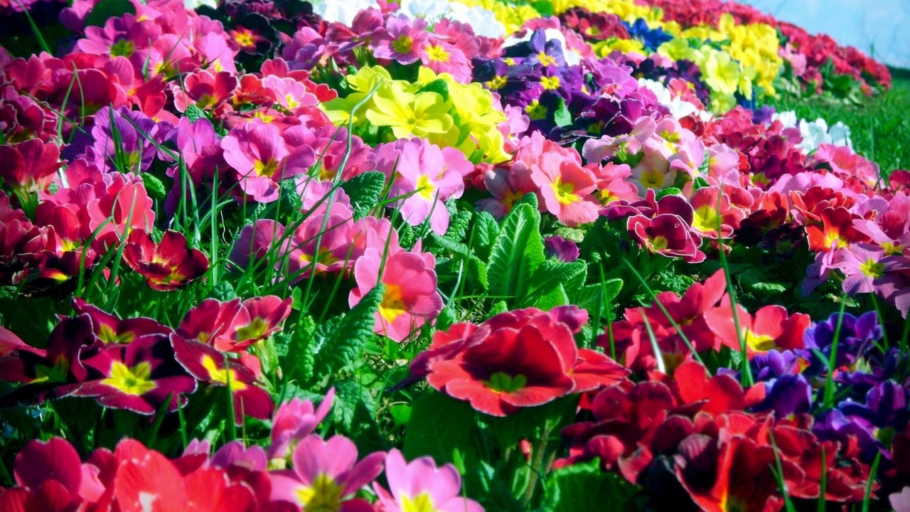 Preview wallpaper bright, colorful, flowers, primrose, sunny