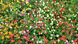 Preview wallpaper colorful, flowers, green, many, purslane, sunny