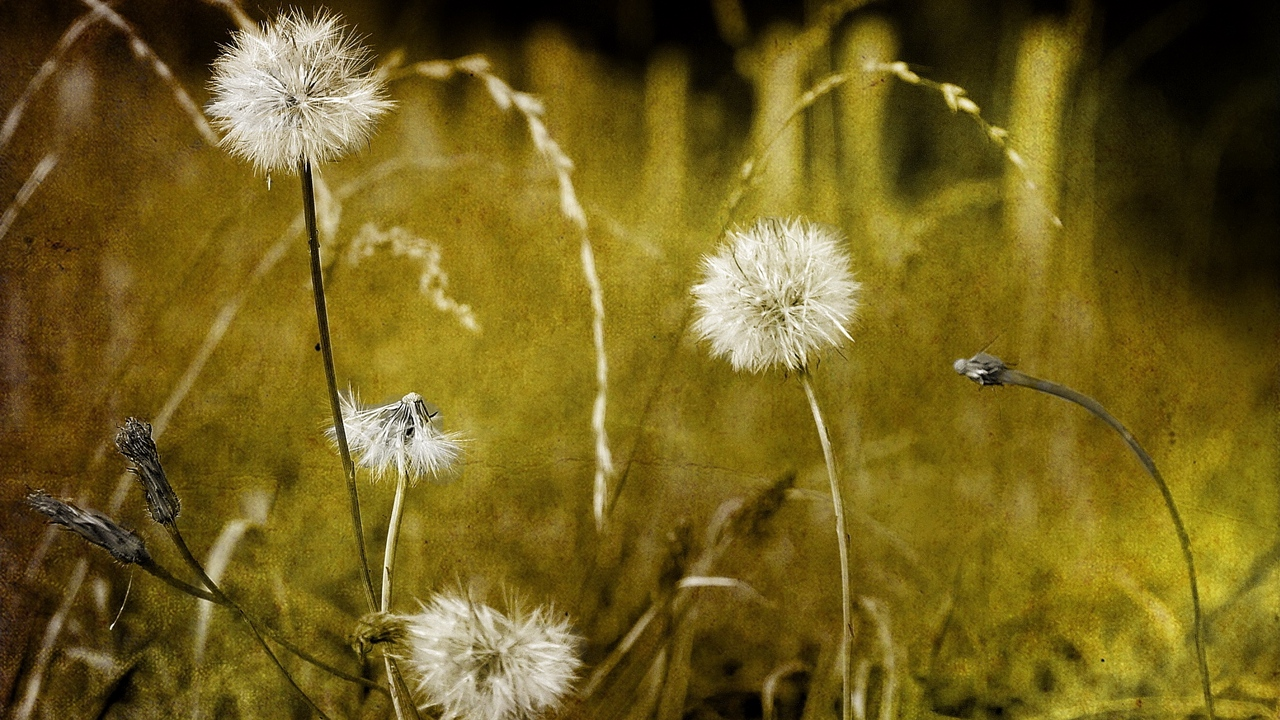 Preview wallpaper dandelions, down, glare, grass, seeds