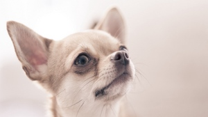 Preview wallpaper blurring, dogs, small eyes