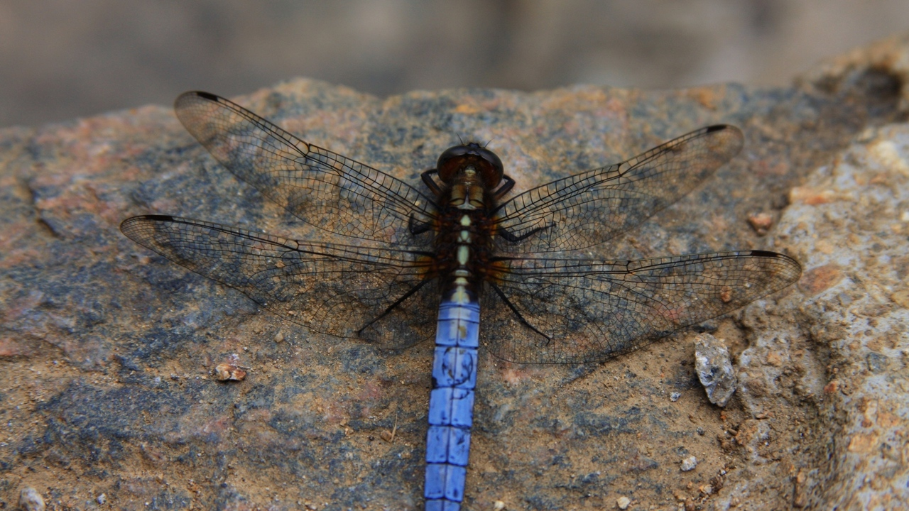 Preview wallpaper dragonfly, insect, surface