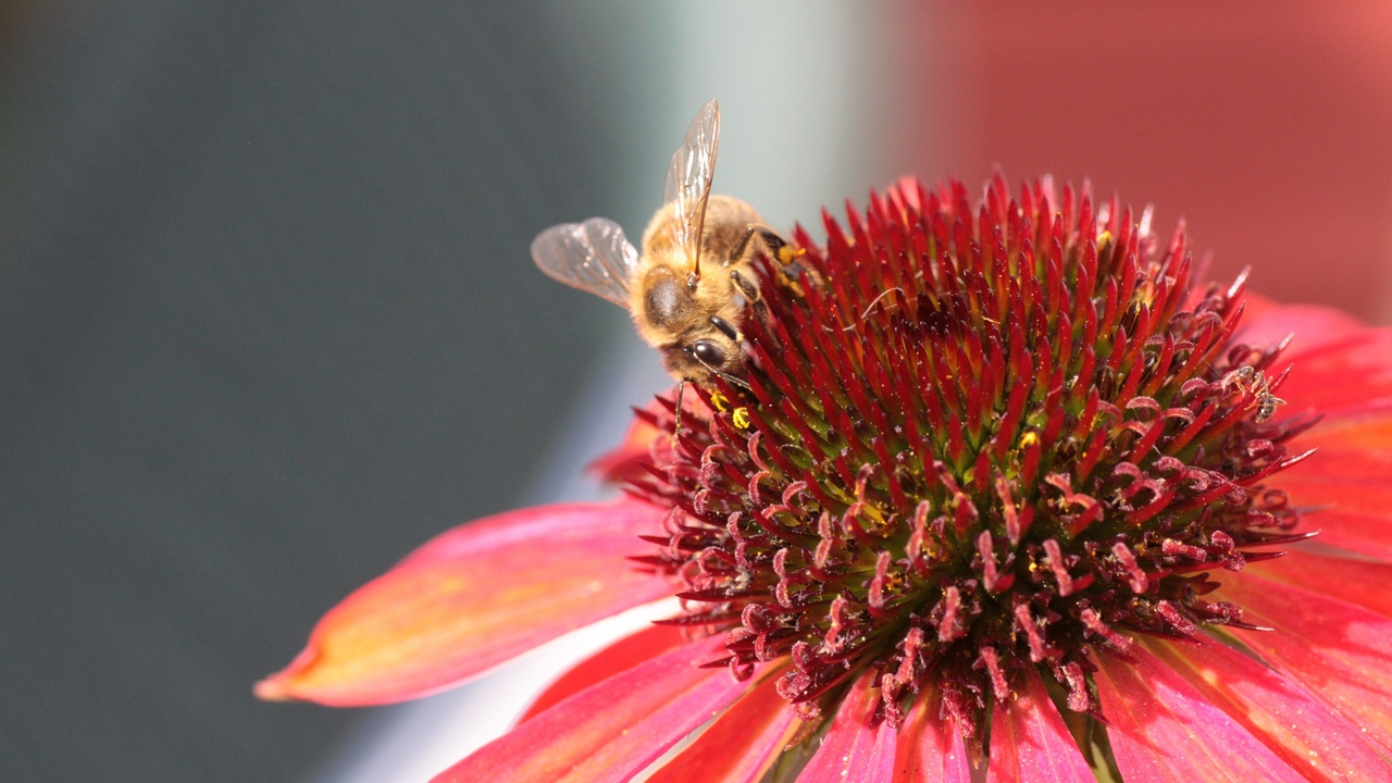 Preview wallpaper bee, echinacea, flower, pollination