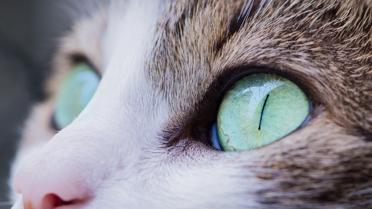 Preview wallpaper cat, eyes, muzzle