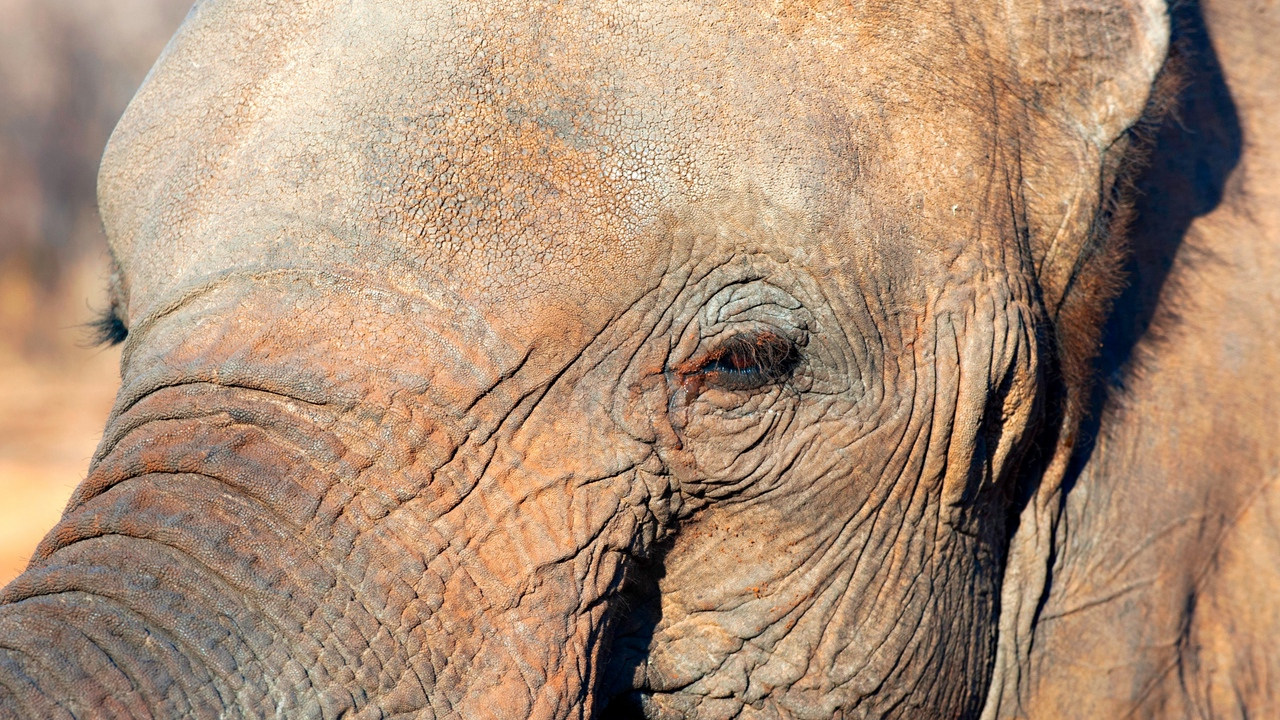 Preview wallpaper elephant, eyes, face