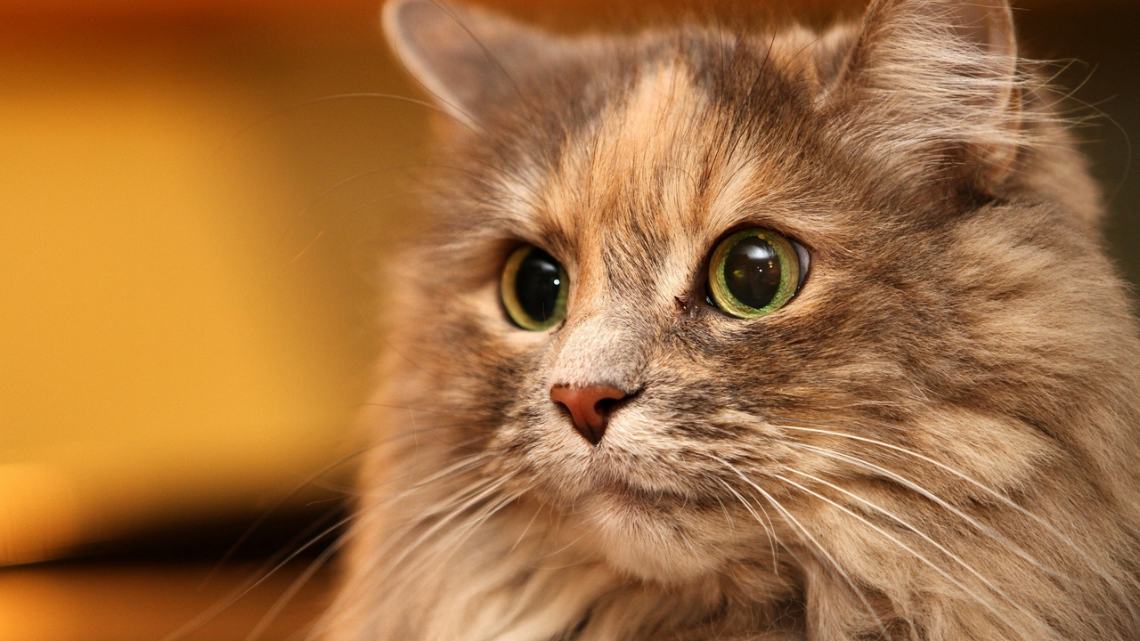 Preview wallpaper cat, eyes, face, fluffy