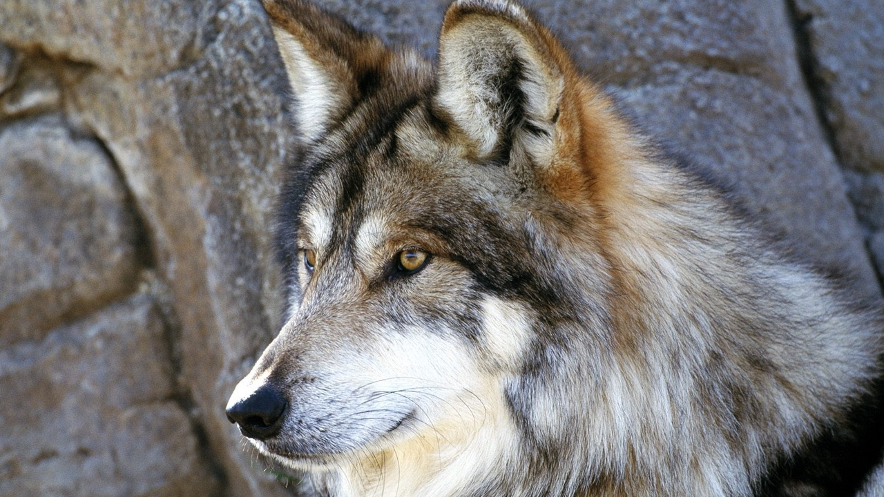 Preview wallpaper dog, face, fluffy, look, wolf