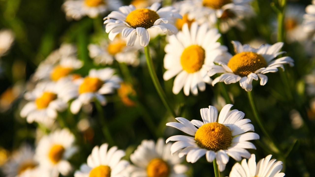 Preview wallpaper daisies, field, flowers, sunny