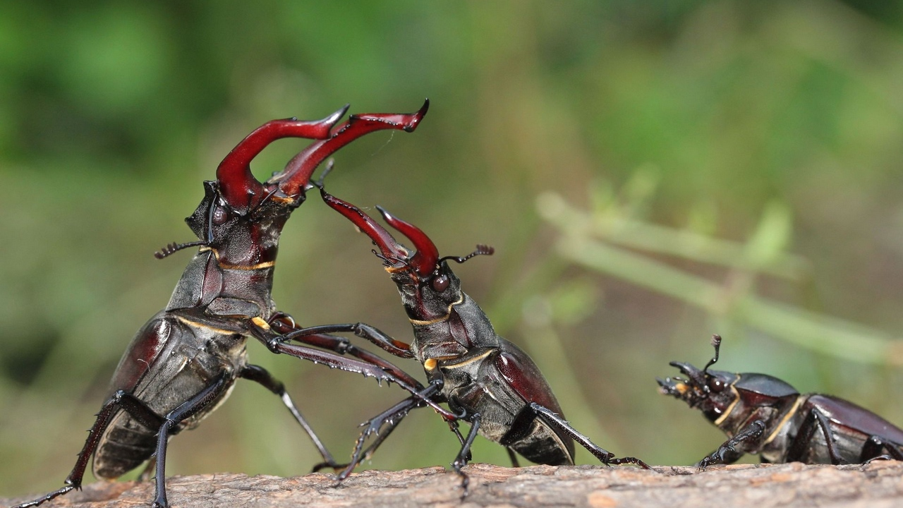 Preview wallpaper female, fight, male, stag beetle