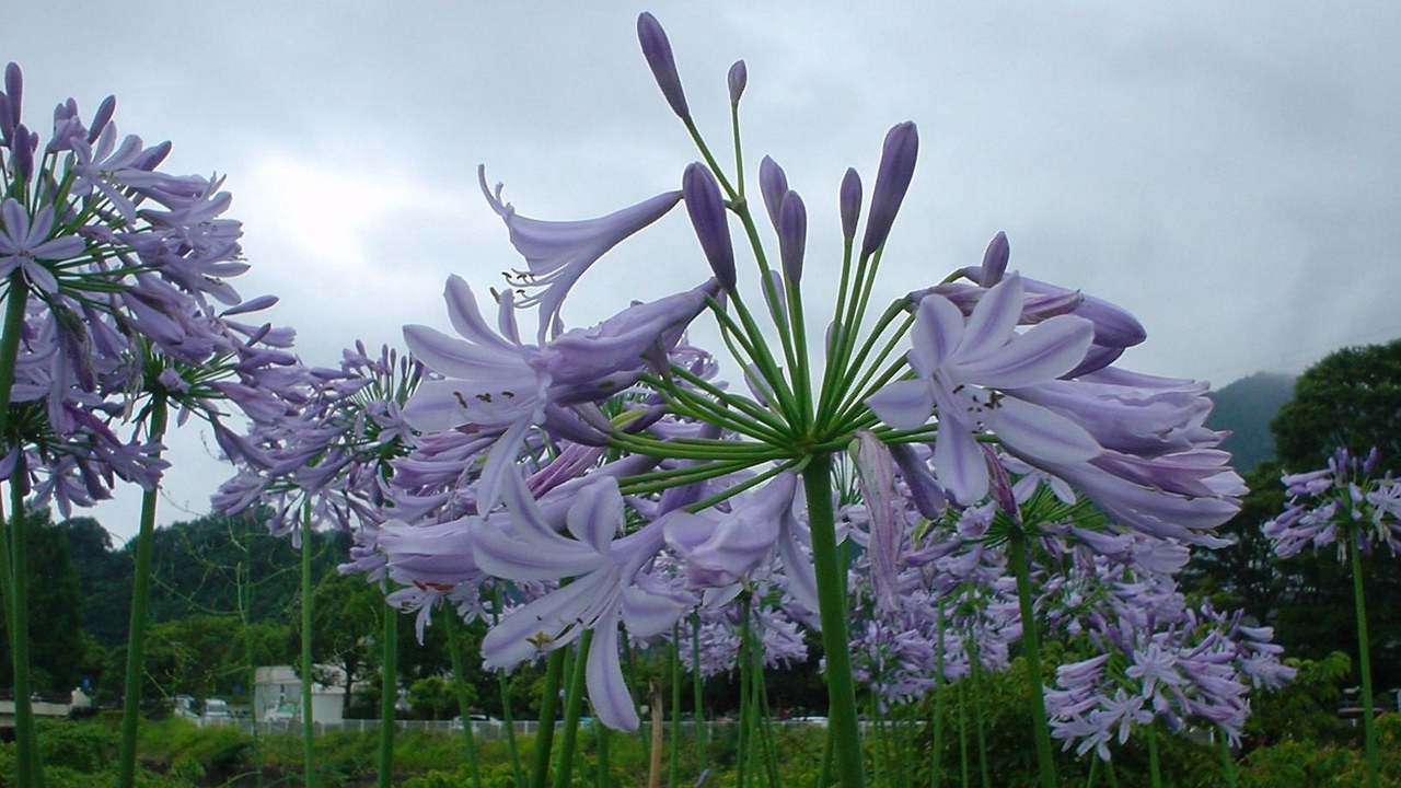 Preview wallpaper agapanthus, flowerbed, flowers, green, park