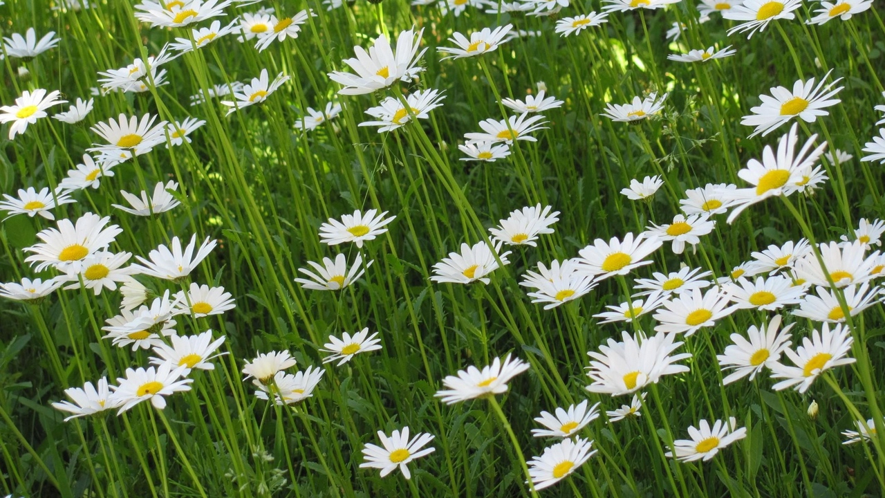 Preview wallpaper chamomile, flowers, greens, meadow, summer