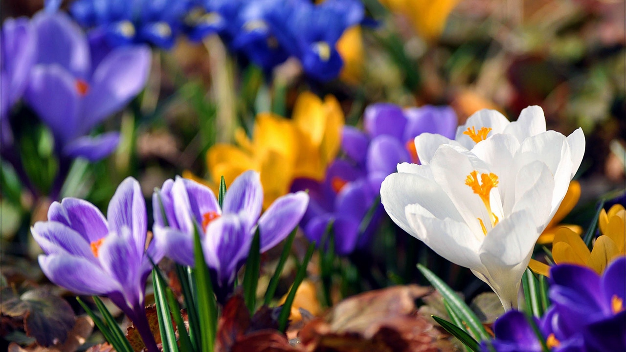 Preview wallpaper bloom, flowers, plant, snowdrops