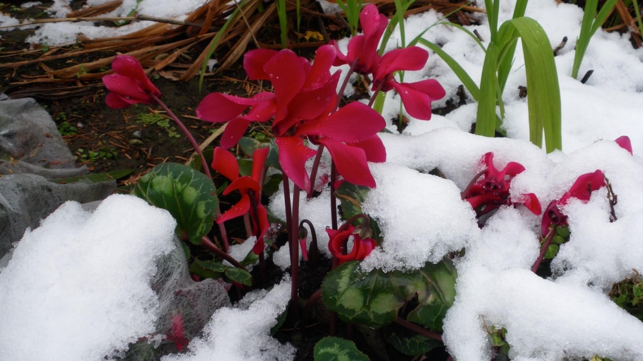 Preview wallpaper close-up, cold, cyclamen, flowers, snow