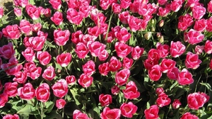 Preview wallpaper flowers, green, loose, pink, sunny, tulips