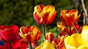 Preview wallpaper colorful, flowers, flowing, sunny, tulips