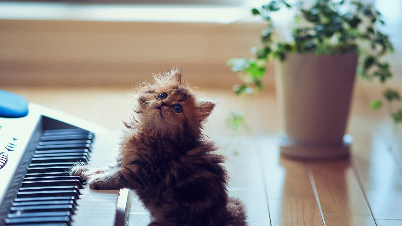 Preview wallpaper floors, fluffy, keyboards, kitty, playful, sit, synthesizer