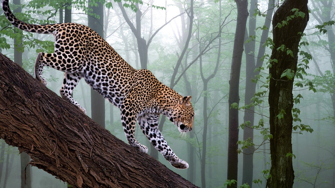 Preview wallpaper branch, fog, forest, leopard, trees