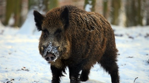 Preview wallpaper boar, forest, snow, tusks, winter