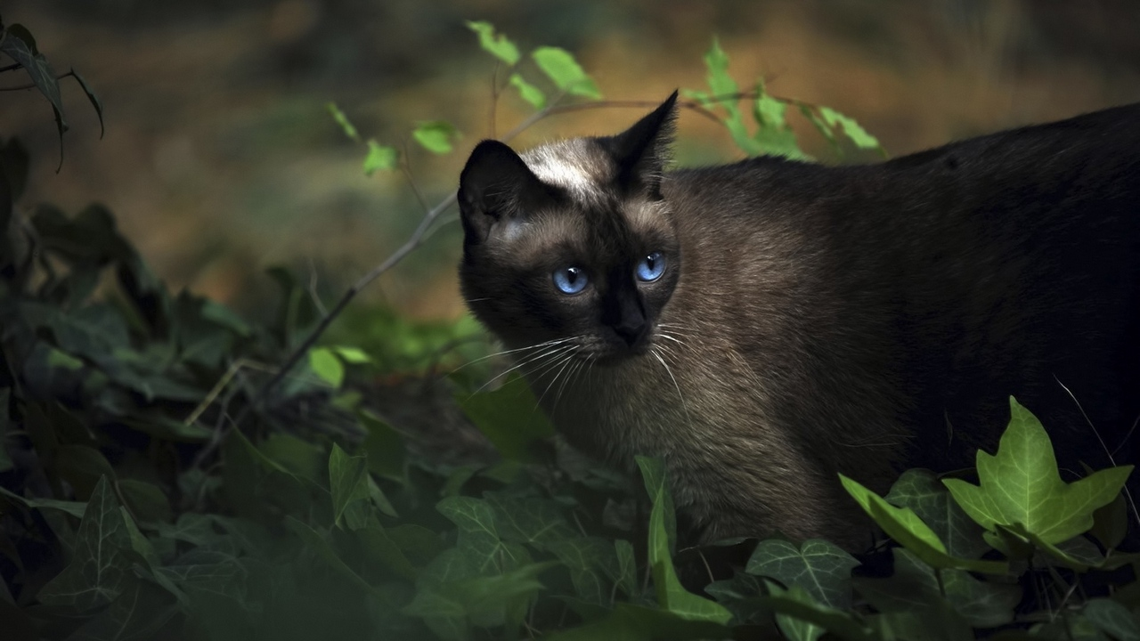 Preview wallpaper blue-eyed, cat, grass, shadow, siamese