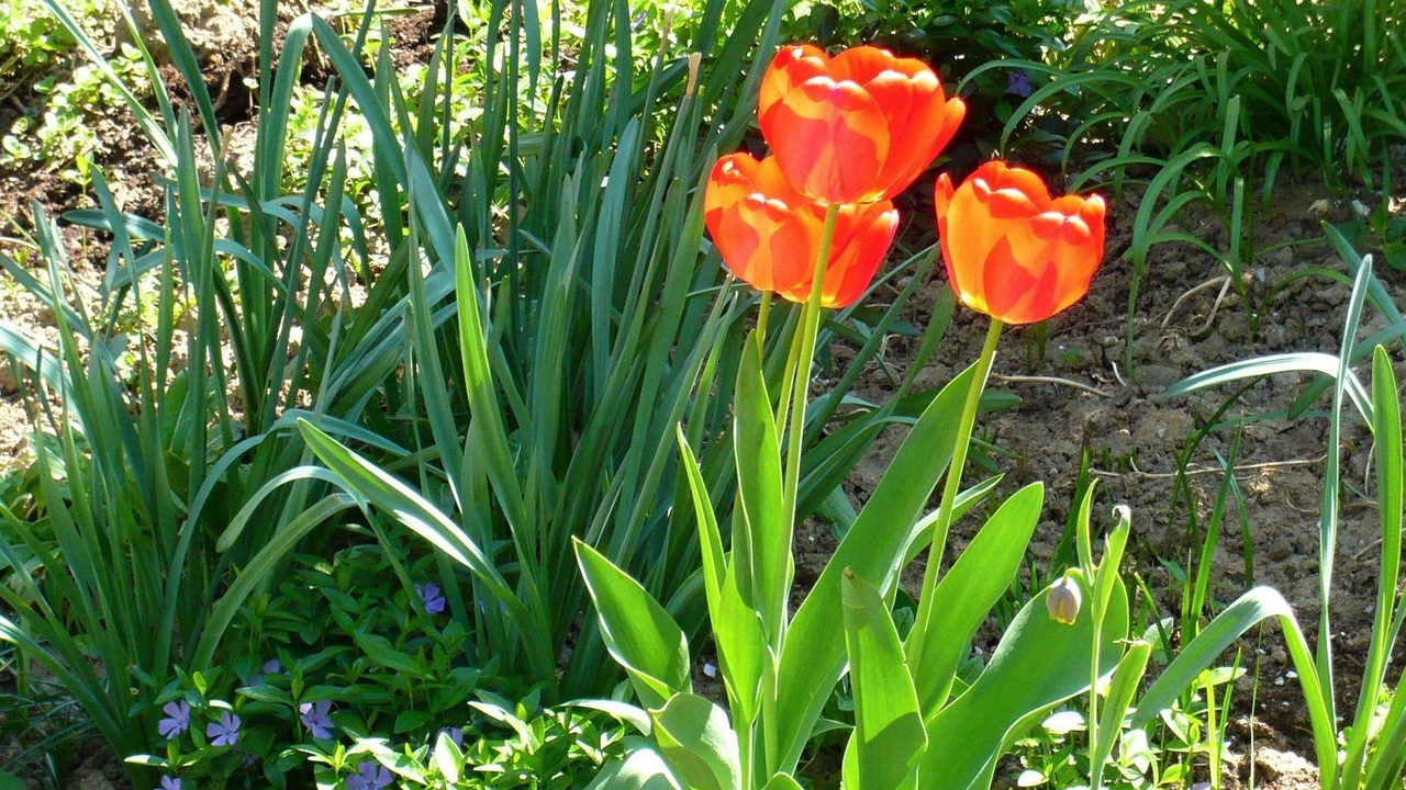 Preview wallpaper flowerbed, flowers, green, sunny, tulips