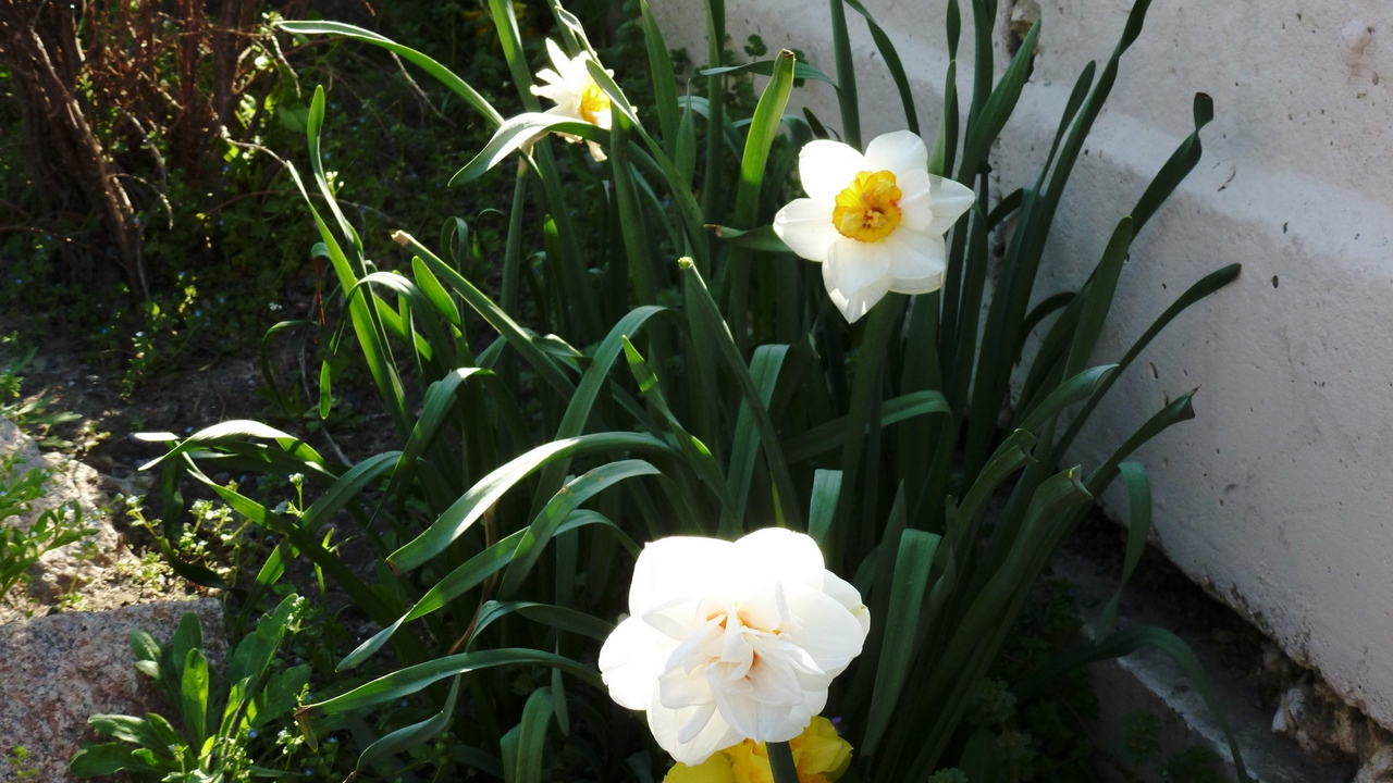 Preview wallpaper daffodils, flowerbed, flowers, greens, wall
