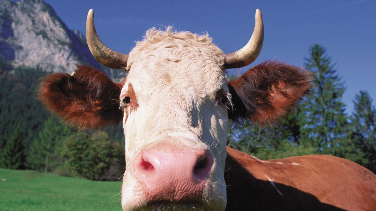 Preview wallpaper close-up, cow, face, horn