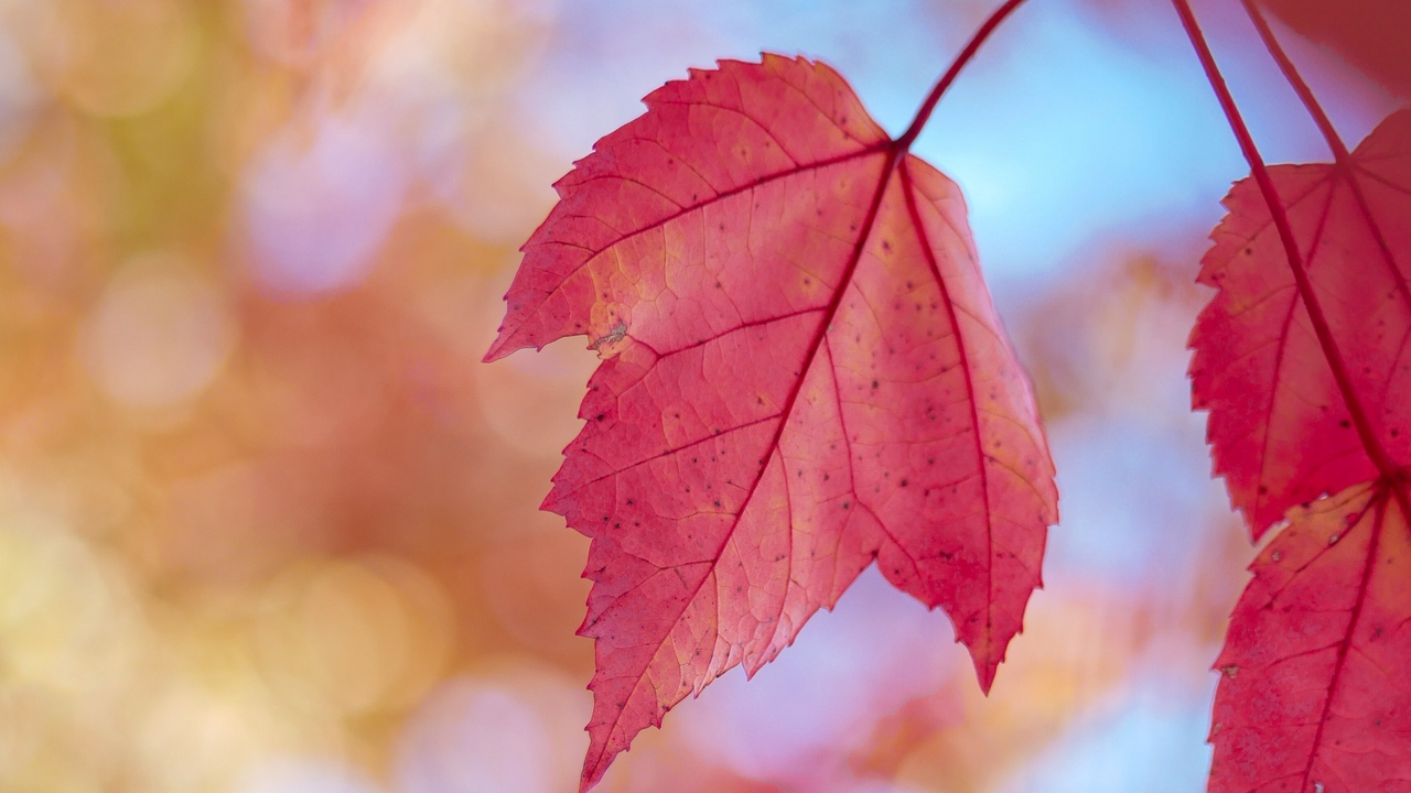 Preview wallpaper autumn, dry, leaves, macro, red