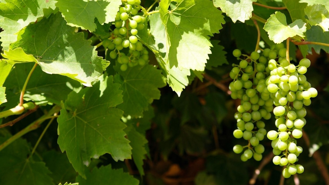 Preview wallpaper clusters, grapes, green, leaves, summer