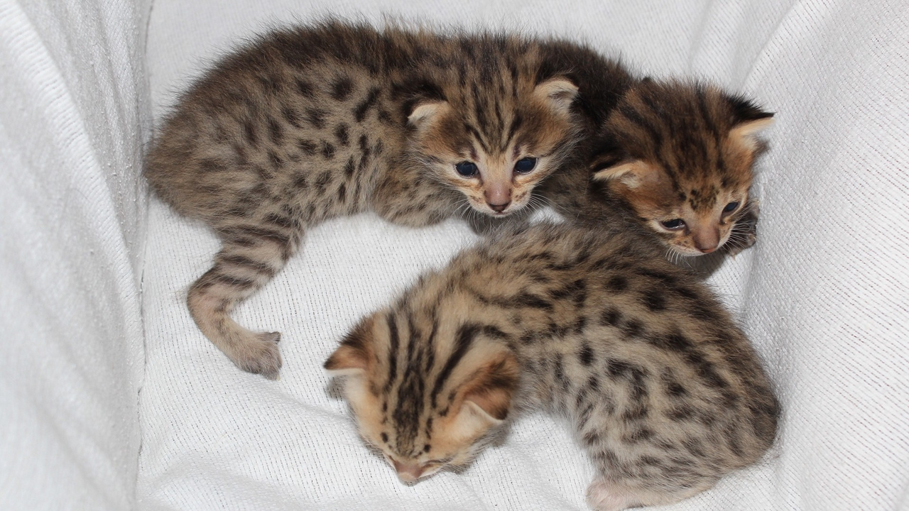 Preview wallpaper cats, lie, small, spotted