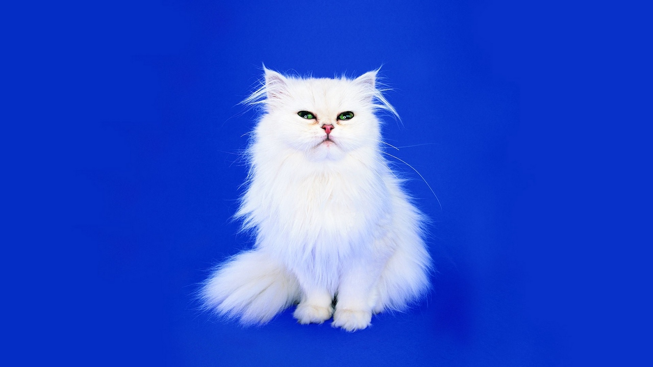 Preview wallpaper background, cat, fluffy, look, photo shoot