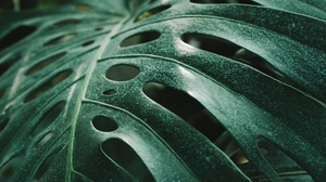 Preview wallpaper green, leaf, monstera, plant