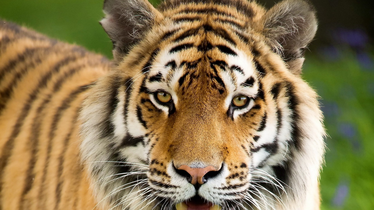 mouth open face aggression tiger