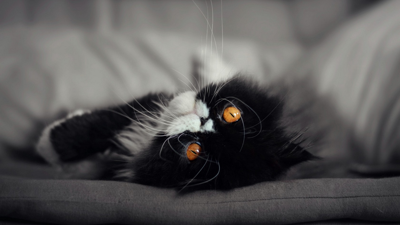Preview wallpaper cat, fluffy, muzzle