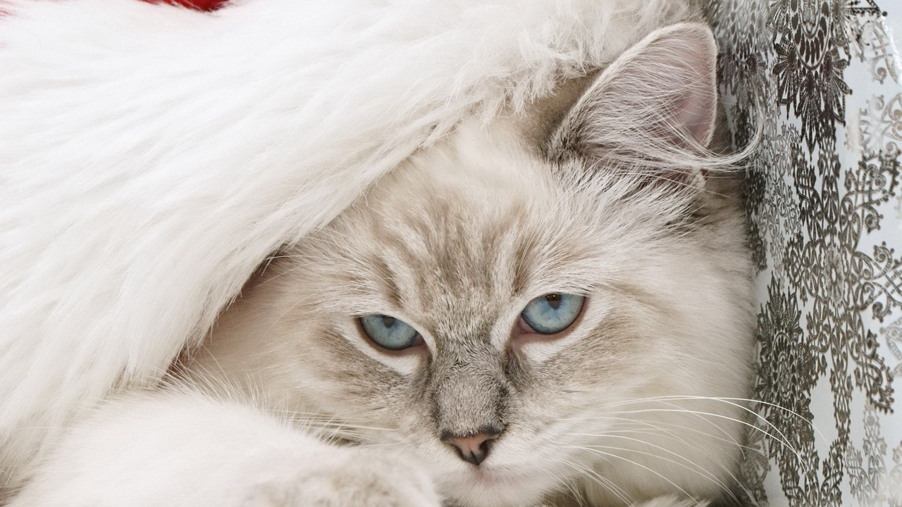 Preview wallpaper cat, furry, hat, holiday, muzzle, new year, santa claus