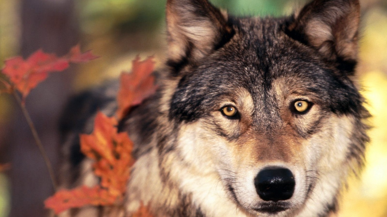 Preview wallpaper look, muzzle, nose, wolf