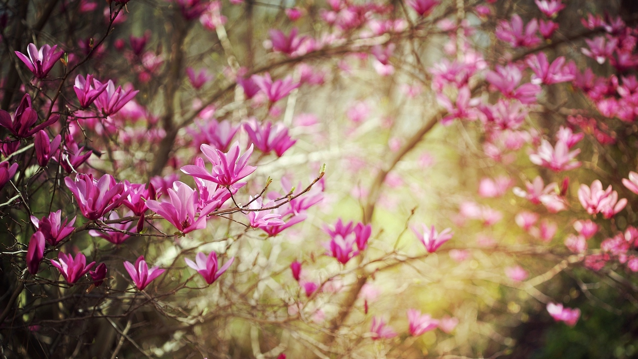 Preview wallpaper blossoms, nature, shrub, spring, twigs