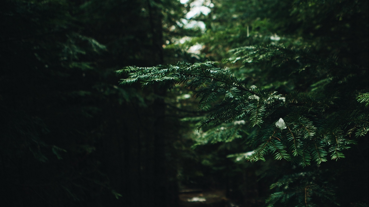 Preview wallpaper branches, forest, green, needles, pine