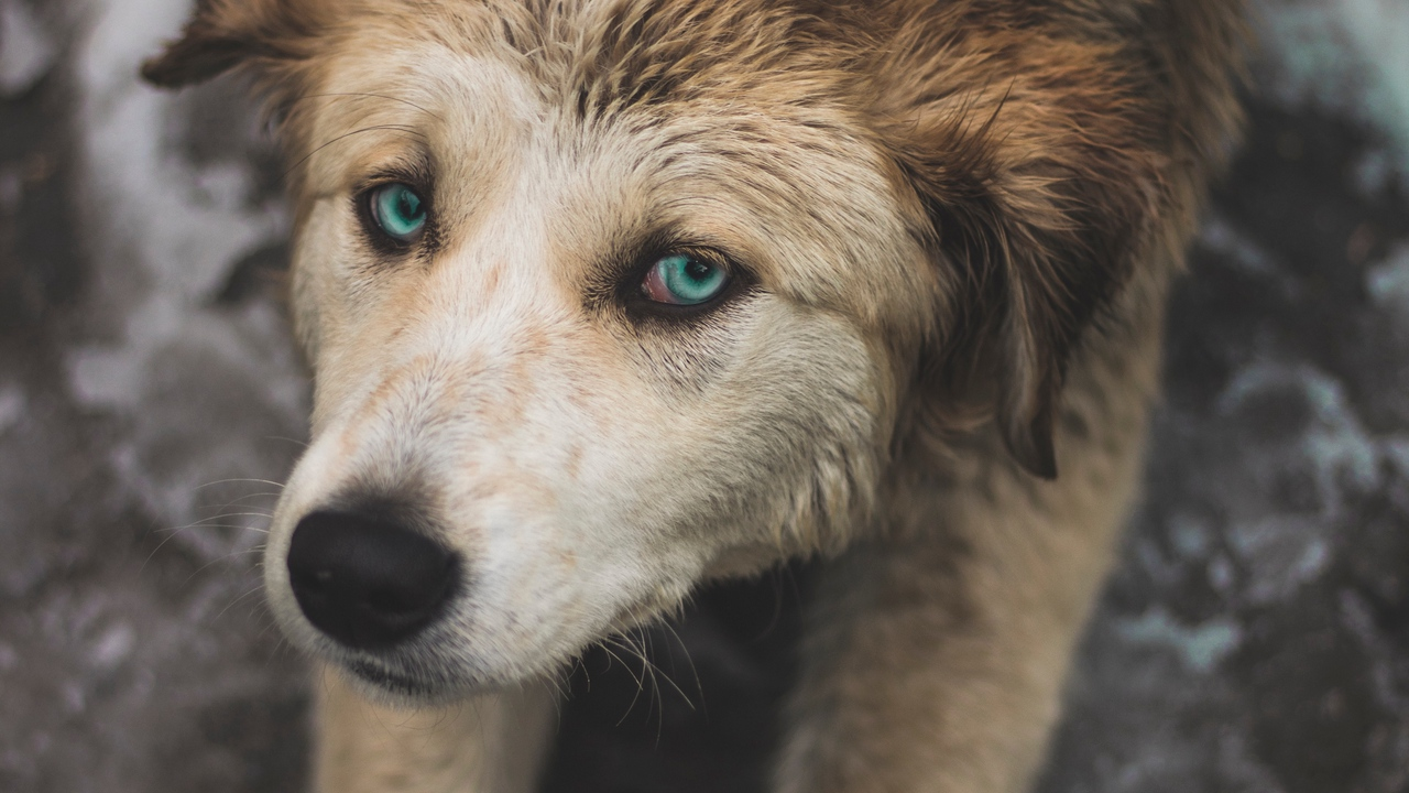 Preview wallpaper blue-eyed, dog, paws, pulling