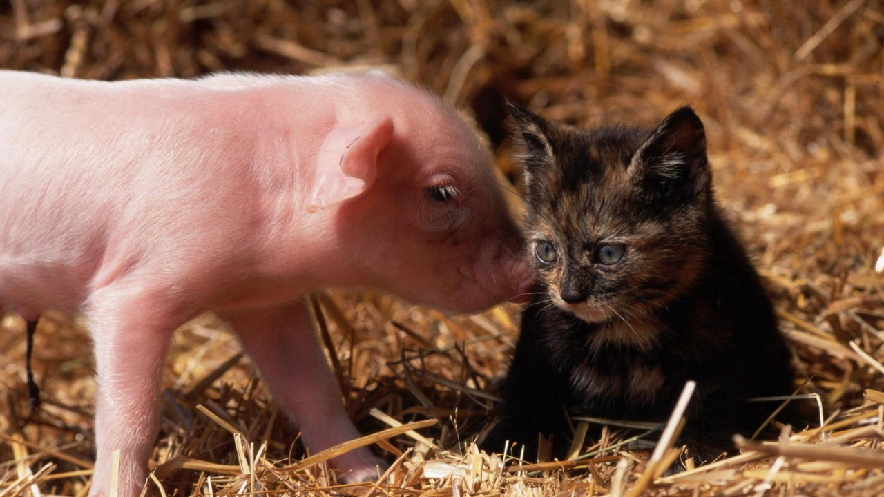 pig friendship cat young